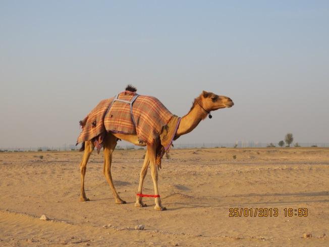 camels 007 - Copy