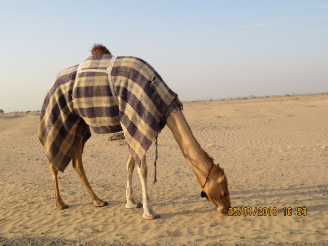 camels 010 - Copy
