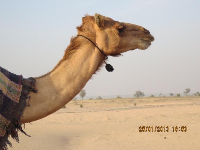 camels 011 - Copy