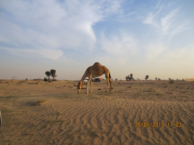 camels 028 - Copy