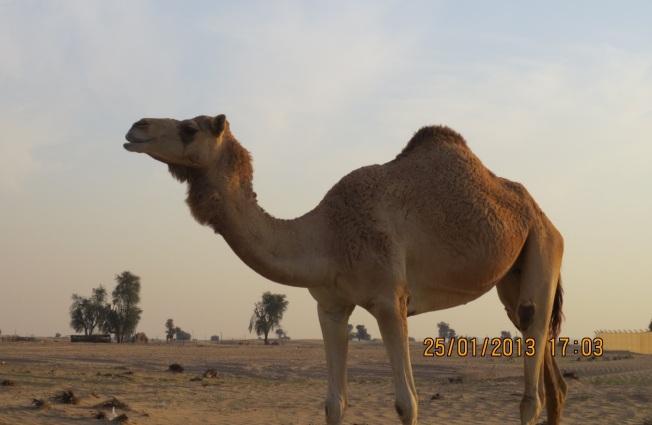 camels 030 - Copy
