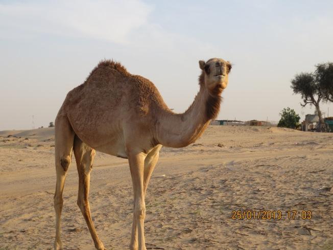 camels 034 - Copy