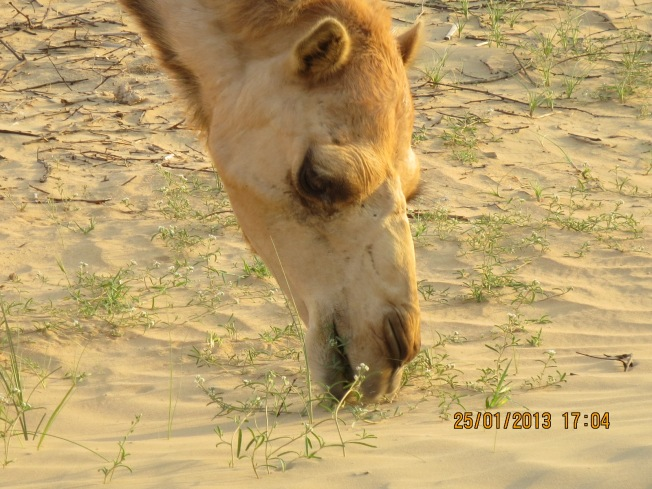 camels 037 - Copy
