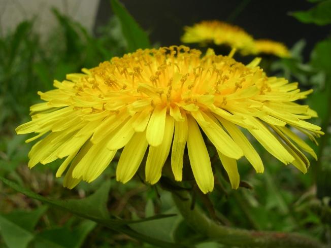 Dandelion_Flower_2