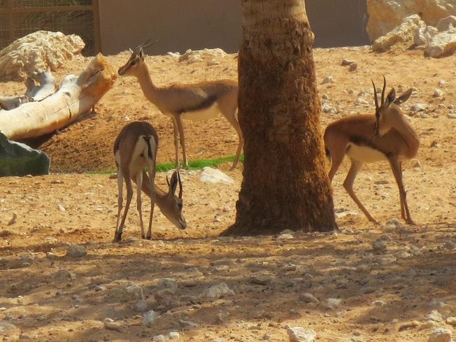 Al Ain Zoo 018