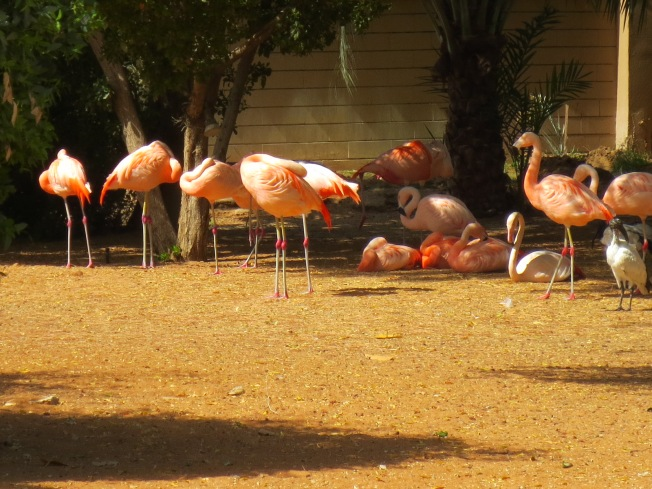Pink Flamingoes - they look kinda peachy-colored here, but in the shade???