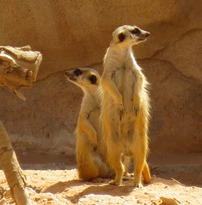 Meerkats are very social critters... they love being around other meerkats!