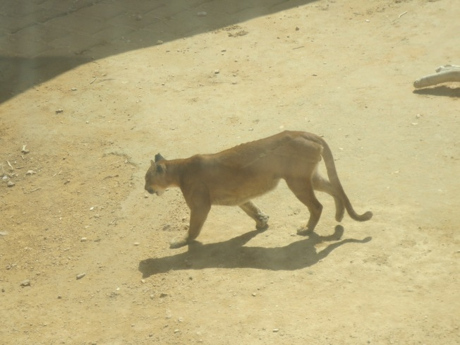 This is a pacing puma.  Honest.  All he did was pace.  Made me wonder if he was unhappy??