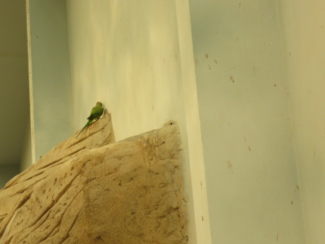 Finally managed to snap a photo of one of the parrots - they're such a vivid green.